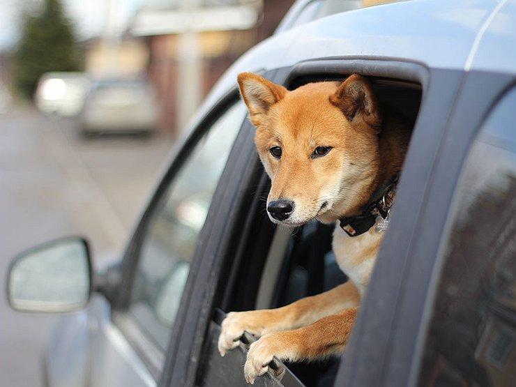 Как накажут водителя за неправильную перевозку собаки или кошки